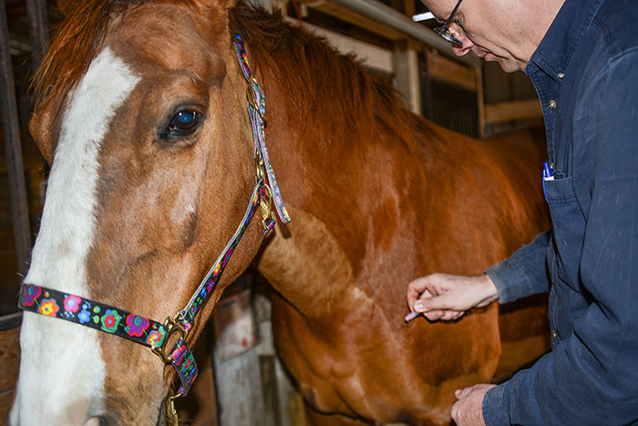 Dr. Keith performing acupuncture on a horse