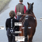 Chiropractic Adjustment Improves Horse's Motion and Rider's Health