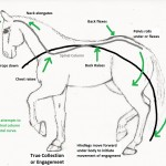 Equine Biomechanics of Locomotion