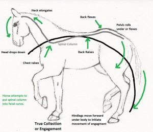 Depiction of the equine's biomechanics to initiate movement, collection or engagement.